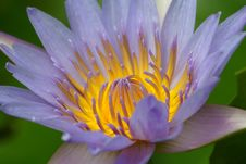 Free Waterlily Stock Photography - 3197422