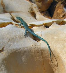 Blue Lizard On Yellow Stone Stock Photography
