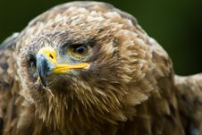 Free Steppe Eagle Royalty Free Stock Photo - 3197825