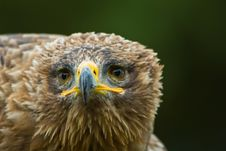 Free Steppe Eagle Royalty Free Stock Photography - 3197827