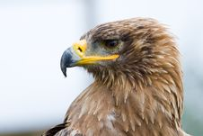 Free Steppe Eagle Royalty Free Stock Photos - 3197828