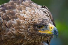 Free Steppe Eagle Stock Image - 3197831