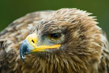 Free Steppe Eagle Stock Photography - 3197832
