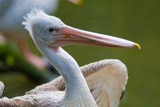 Free Pelican Royalty Free Stock Photos - 3197838