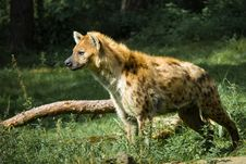 Free Beautiful Hyena Stock Image - 3197881