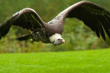 Free Vulture In Flight Stock Photography - 3197892