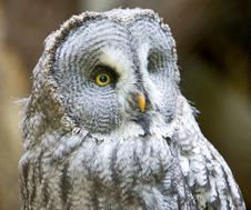 Free Big Grey Owl 2 Royalty Free Stock Photo - 3198205