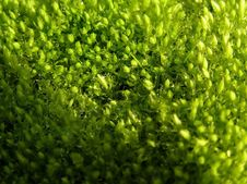 Free Sulphuric Bryophyte Stock Images - 3198334