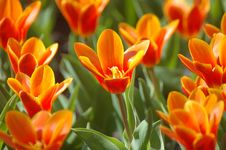 Free Tulips Royalty Free Stock Image - 3198676