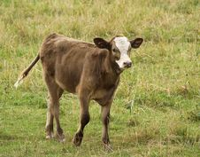Free Little Brown Calf Stock Photography - 3199972