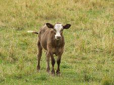Free Brown Calf Stock Images - 3199994