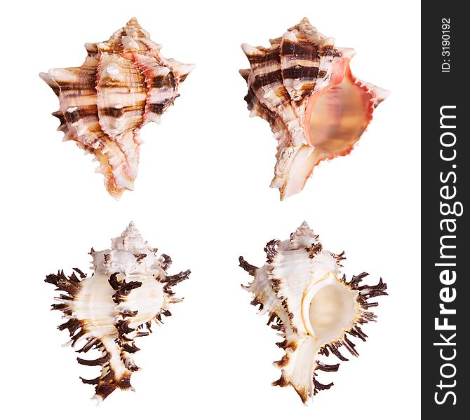 Murex Seashells