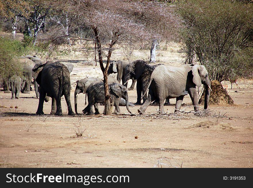 Elephants  troop