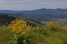 Free Balsamroot Wildflowers Royalty Free Stock Photo - 31902935