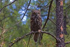 Free Great Horned Owl On Limb Royalty Free Stock Image - 31903016