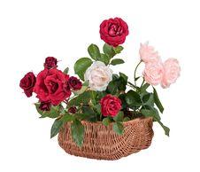 Free Rose Royalty Free Stock Photos - 31903698