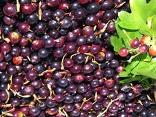 Free Currant As Background Royalty Free Stock Photos - 31903848