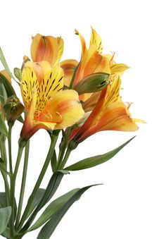 Free Yellow Lilies Royalty Free Stock Image - 31904736