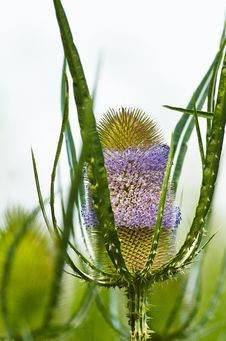 Free Dipsacus Fullonum Stock Photo - 31905040