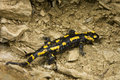 Free Salamander Stock Photography - 31918162