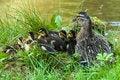 Free Ducks Stock Photos - 31919043