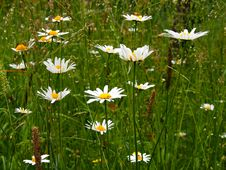 Free Daisies In Meadow Royalty Free Stock Photos - 31912808