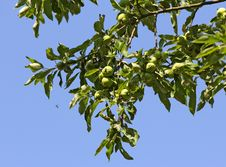 Free Young Green Apples On A Branch Stock Photography - 31913342