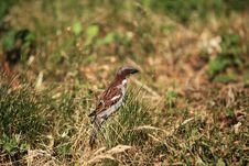 Free Sparrow In The Grass Stock Images - 31913514