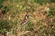 Sparrow In The Grass Royalty Free Stock Images