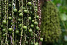Free Arenga Pinnata Palm Seed Stock Image - 31914371