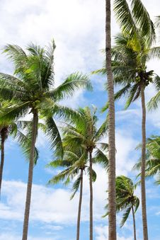 Free Coconut Palm Trees Stock Photo - 31914520