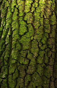 Free Bark Of Deciduous Tree Royalty Free Stock Photos - 31915388