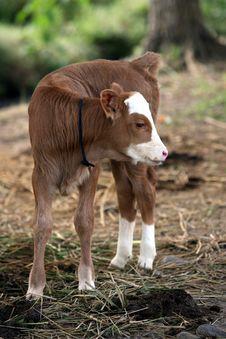 Free Cow Stock Image - 31918381