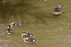 Free Duck Family Royalty Free Stock Photography - 31919287
