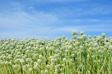 Free Onion Seed Field Royalty Free Stock Photography - 31927367