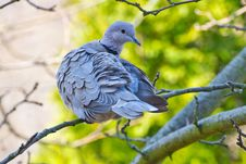Free Collared Dove On Branch Stock Image - 31930091