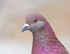Portrait Of Pigeon Royalty Free Stock Photos