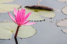 Free Lotus Stock Image - 31934241