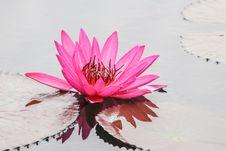 Free Lotus Royalty Free Stock Photography - 31934297
