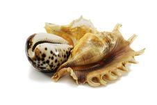 Free Three Shells Royalty Free Stock Photo - 31941025