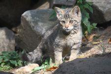 Free Wildcat Stock Photography - 31941972