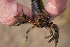 Free Crayfish Royalty Free Stock Photo - 31946095