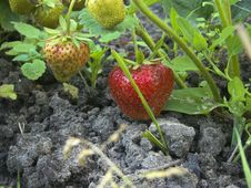 Strawberries In A Garden Stock Images