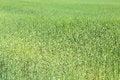 Free Field Of Green Wheat Grass Stock Image - 31958071