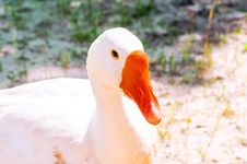 Free Beautiful White Goose Closeup, Looking Into The Camera. Stock Photography - 31954232