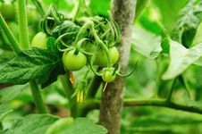 Free Green Tomatoes Stock Photography - 31954522