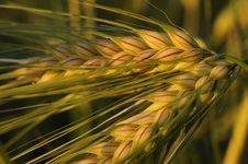 Free Closeup Of Golden Wheat Stock Photos - 31956203