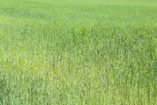 Free Field Of Green Wheat Grass Stock Image - 31958071