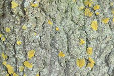 Free Yellow Mold On The Tree Bark. Texture. Stock Images - 31958114