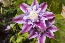 Clematis, Flower In The Sunlight Stock Image